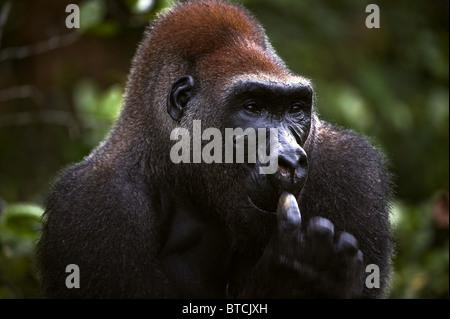 The male of a gorilla picks in a nose. A native habitat - Stock Photo