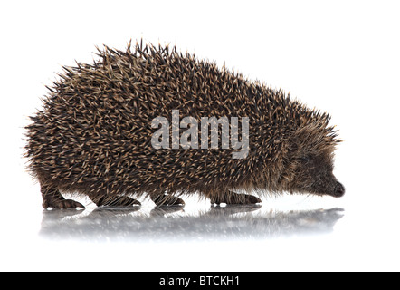closeup of hedgehog on white background - Stock Photo