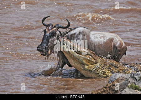 Crocodile (Crocodylus niloticus) Catching Blue Wildebeest (Connochaetes taurinus) in the Masai Mara National Reserve. - Stock Photo