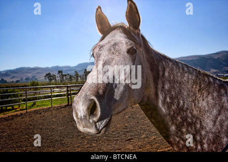 A grey horse head shot - Stock Photo