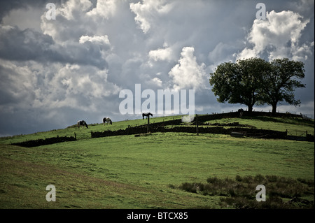 Horses grazing in a field, under a overcast sky - Stock Photo