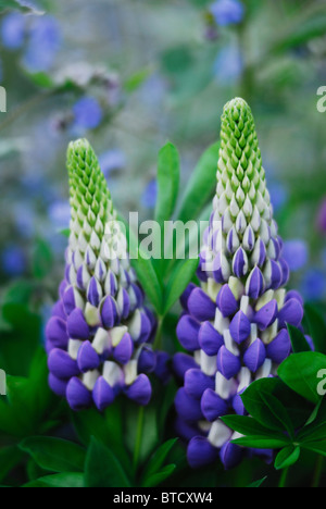 Lupin flowers in cottage garden. Dorset, UK May 2010 - Stock Photo