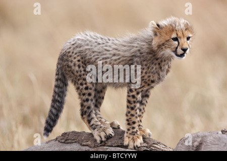 Cheetah (Acinonyx jubatus) Cub. Masai Mara National Reserve. Kenya Stock Photo