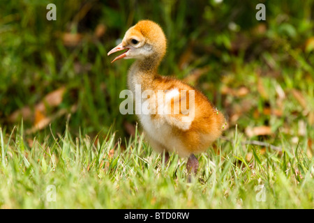 Young sandhill crane chick, or colt, standing on the grass in Florida. - Stock Photo
