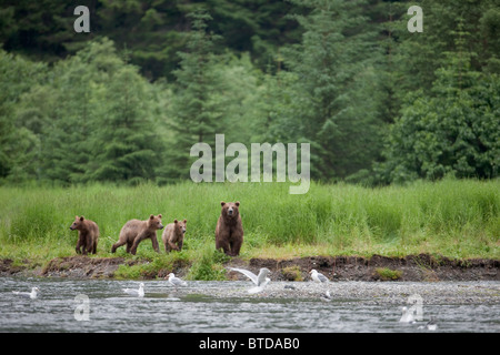 Brown bear sow walks along a stream with three cubs, Prince William Sound, Chugach Mountains, Chugach National Forest, - Stock Photo