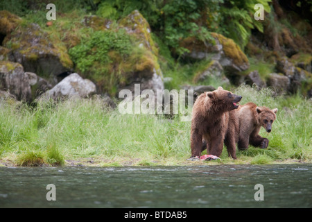 Brown bear sow with older cub eating salmon on a stream bank near Prince William Sound, Chugach National Forest, - Stock Photo