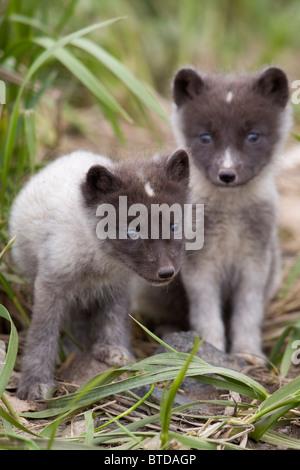 Close up of Arctic Fox pups, Saint Paul Island, Pribilof Islands, Bering Sea, Alaska, Southwestern, Summer - Stock Photo