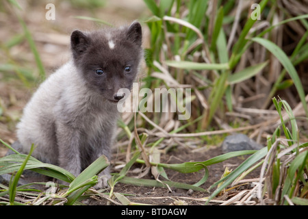 Close up of an Arctic Fox pup peering through grass, Saint Paul Island, Pribilof Islands, Bering Sea, Alaska, Summer - Stock Photo