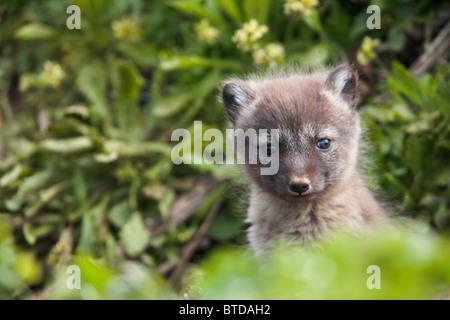 Close up of an Arctic Fox  pup peeking out from its den, Saint Paul Island, Pribilof Islands, Bering Sea, Alaska, - Stock Photo