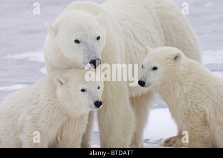 Portrait of two yearling Polar Bear (Ursus maritimus) cubs sitting with their mother in  Churchill, Manitoba, Canada, - Stock Photo