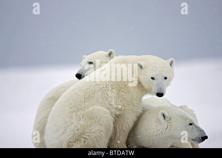 During a light snow storm two Polar Bear cubs snuggle next to their resting mother,  Churchill, Manitoba, Canada - Stock Photo