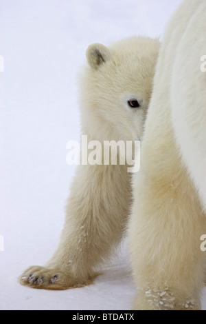 A yearling Polar Bear (Ursus maritimus) cub takes shelter behind its mother's hind legs, Churchill, Manitoba, Canada, - Stock Photo