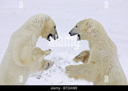 Two adult Polar Bears (Ursus maritimus) stand on their hind legs and play fight in Churchill, Manitoba, Canada, - Stock Photo