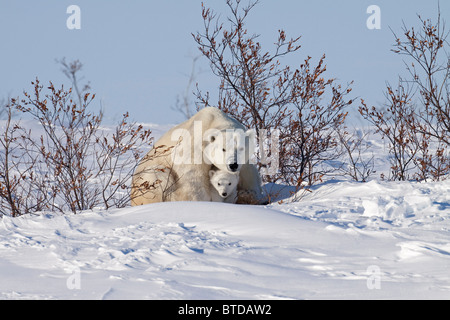 Polar Bear cub huddles beneath its mothers front legs for protection and shelter, Wapusk National Park, Manitoba, - Stock Photo