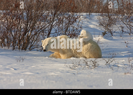 A 12- 14 week Polar Bear (Ursus maritimus) relaxes on its mother's back, Wapusk National Park, Manitoba, Canada, - Stock Photo
