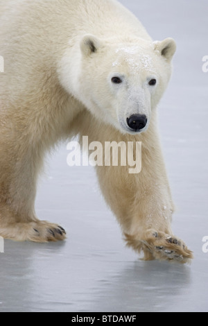 Portrait of an adult Polar Bear (Ursus maritimus) walking across lake ice in Churchill, Manitoba, Canada, Winter - Stock Photo