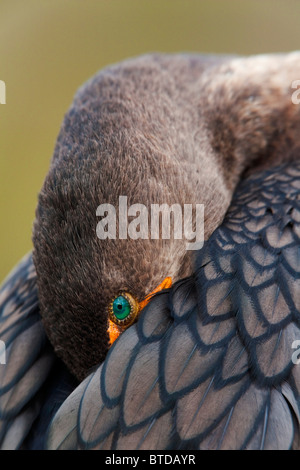 Double-crested Cormorant sleeping with bill tucked in wing, Everglades National Park, Florida, USA - Stock Photo