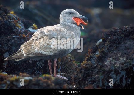 Herring gull swallowing a whole starfish, California Coast, USA - Stock Photo