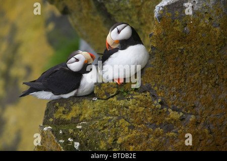 Horned Puffin pair perched on lichen covered cliff ledge during Summer, Saint Paul Island, Pribilof Islands, Bering - Stock Photo