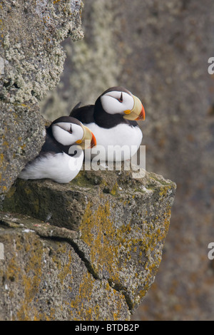Horned Puffin pair perched on a cliff ledge during Summer, Saint Paul Island, Pribilof Islands, Bering Sea, Southwest - Stock Photo