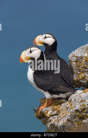 Horned Puffin pair, one yawning, perched on rock ledge, Saint Paul Island, Pribilof Islands, Bering Sea, Alaska - Stock Photo