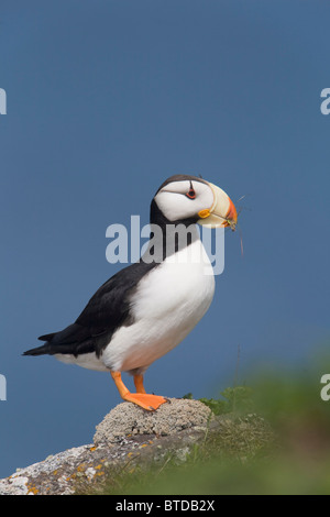 Horned Puffin perched on rock ledge with the Bering Sea in background, Saint Paul Island, Pribilof Islands, Bering - Stock Photo