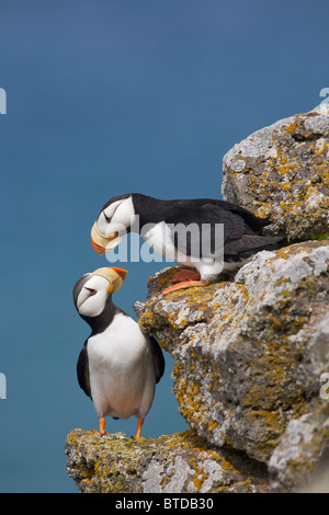 Horned Puffin pair perched on rock ledge with the Bering Sea in background, Saint Paul Island, Pribilof Islands, - Stock Photo