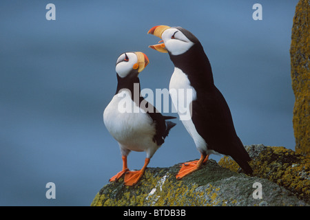 Horned Puffin pair on ledge, courtship display, Round Island, Walrus Islands State Game Sanctuary, Bristol Bay, - Stock Photo