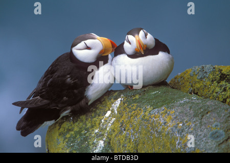 Horned Puffin pair perched on ledge, Round Island, Walrus Islands State Game Sanctuary, Bristol Bay, Southwest Alaska - Stock Photo