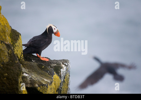 Tufted Puffin on cliff ledge with Red-faced Cormorant flying by, Saint Paul Island, Pribilof Islands, Bering Sea, - Stock Photo
