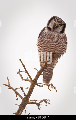 Portrait of a Northern Hawk Owl perched on a dead spruce tree, Denali National Park, Interior Alaska, Fall - Stock Photo