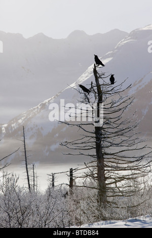 View of three Ravens perched on a hoar frosted tree in Portage Valley, Chugach National Forest, Southcentral Alaska, - Stock Photo