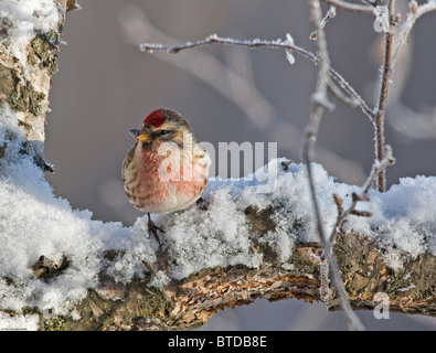 Close up view of a male Redpoll in spring breeding colors, Anchorage, Southcentral Alaska - Stock Photo
