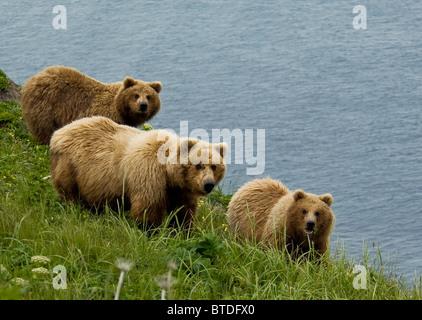 Brown bear sow and cubs eating sedge grasses in Hallo Bay, Katmai National Park, Southwest Alaska, Summer - Stock Photo
