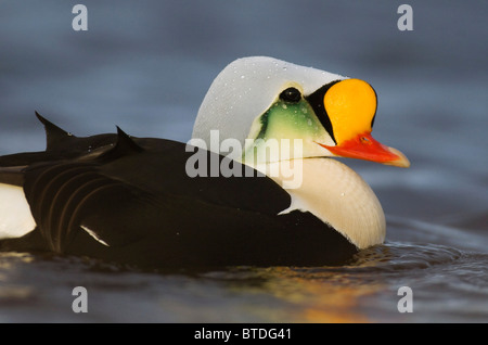 A close-up view of a drake King Eider in the Teshekpuk Lake are of the National Petroleum Reserve, Arctic Alaska - Stock Photo