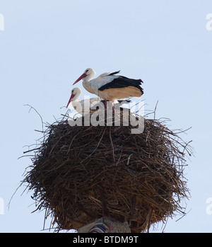 White Storks (Ciconia ciconia) sitting on a nest, Spain - Stock Photo