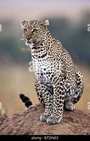 Leopard ( Panthera pardus) Using termite mound as vantage point Masai Mara National Reserve. Kenya - Stock Photo