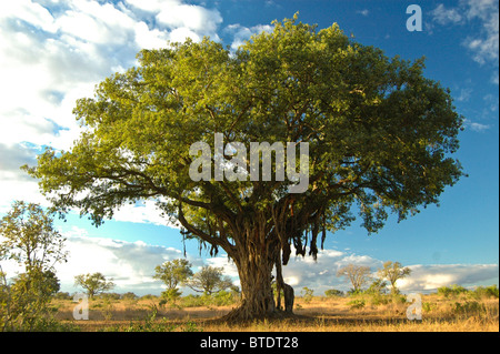 Large fig tree in a savanna setting - Stock Photo