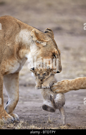 Lioness carrying cub.Will frequently move young cubs in order to prevent an accumulation of scent. Masai Mara National - Stock Photo
