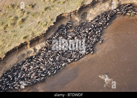 Aerial view of Blue Wildebeest (Connochaetes taurinus) crossing the Mara River - Stock Photo
