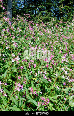 Himalayan Balsam is a pest plant in many parts of Germany - Stock Photo