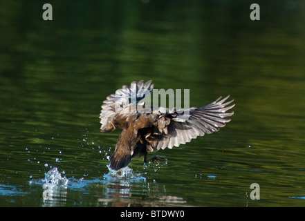 A Mallard duck lands on the lake with wings spread wide - Stock Photo