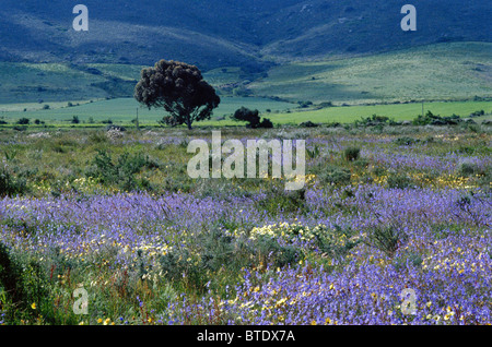 The general countryside around Darling showing a spread of violet spring flowers - Stock Photo