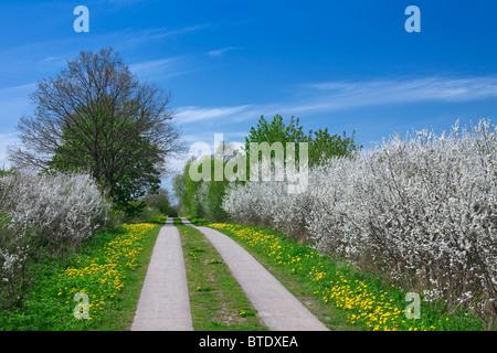 Hedge in spring with flowering Blackthorn / Sloe (Prunus spinosa), Germany - Stock Photo