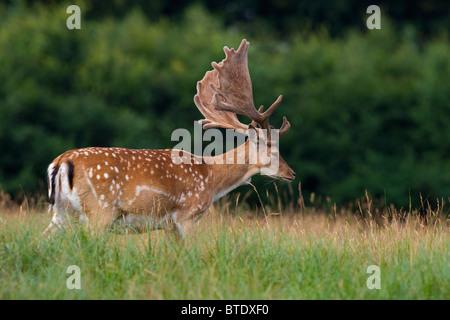 Fallow deer stag (Cervus dama / Dama dama) with antlers covered in velvet, Denmark - Stock Photo