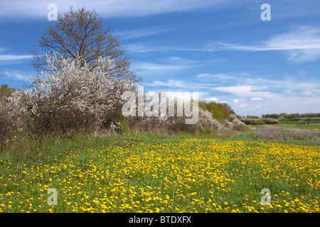 Hedge in spring with flowering Blackthorn / Sloe (Prunus spinosa) and Dandelions (Taraxacum officinale) in field, - Stock Photo