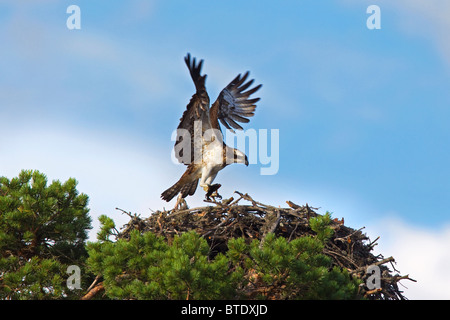 Osprey (Pandion haliaetus) with fish landing on nest in tree, Sweden - Stock Photo