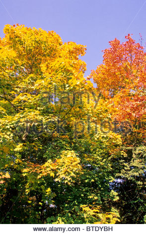 Maple in autumn colours - Stock Photo