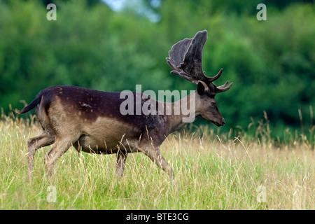 Fallow deer stag (Cervus dama / Dama dama), black morph with antlers covered in velvet, Denmark - Stock Photo