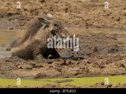 Warthog wallowing in mud and water at a waterhole in the Kruger National Park, South Africa. - Stock Photo